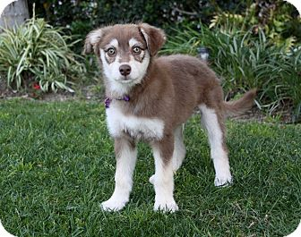 Siberian Husky Mix Puppy for adoption in Newport Beach, California - DREW