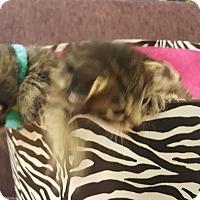 Adopt A Pet :: Peek-A-Boo - Valencia, CA