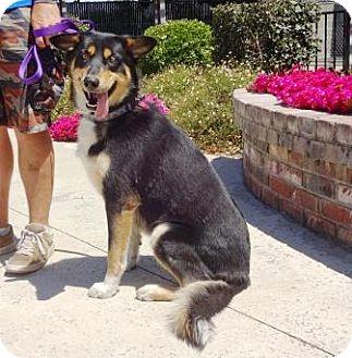 Husky/German Shepherd Dog Mix Dog for adoption in Lathrop, California - Tucker