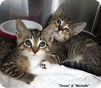 Domestic Shorthair Kitten for adoption in Key Largo, Florida - Jesse & Michelle