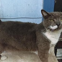 Adopt A Pet :: Baby Boy Kitt Declawed - Tampa, FL