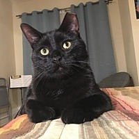 Domestic Shorthair Cat for adoption in St. Paul, Minnesota - Snap, Crackle and Pop