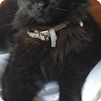 Adopt A Pet :: Offered by Owner SAMANTHA - Maine Coon mix - HILLSBORO, OR