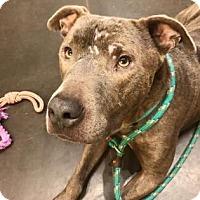 American Pit Bull Terrier Mix Dog for adoption in Kansas City, Missouri - Chango