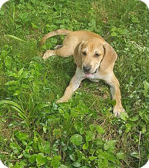 Labrador Retriever/Hound (Unknown Type) Mix Puppy for adoption in Oakland, Michigan - Sandy