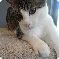 Domestic Shorthair Kitten for adoption in Lake Charles, Louisiana - Karmiine