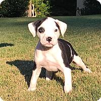 Adopt A Pet :: Drake - Alpharetta, GA