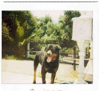 Rottweiler Dog for adoption in Alpine, California - Bruiser