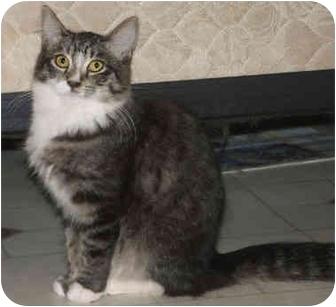 Maine Coon Cat for adoption in Davis, California - Jarmila