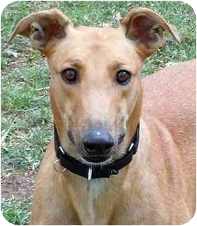 Greyhound Dog for adoption in Dallas, Texas - T-Bone