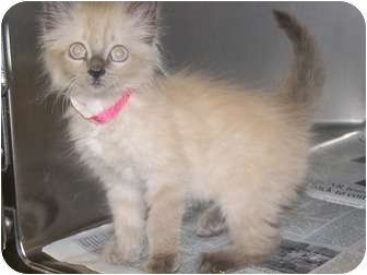 Siamese Kitten for adoption in Rockingham, North Carolina - Sally