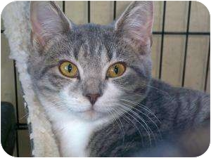 Domestic Shorthair Cat for adoption in Columbiaville, Michigan - Lily