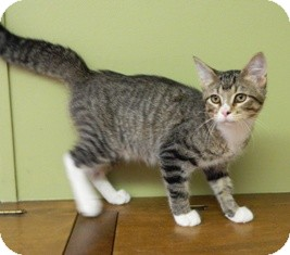 Domestic Mediumhair Cat for adoption in Columbus, Nebraska - Cola