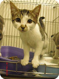 Domestic Shorthair Cat for adoption in Granbury, Texas - Susie