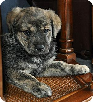 German Shepherd Dog/Rottweiler Mix Puppy for adoption in North Olmsted, Ohio - Puppies