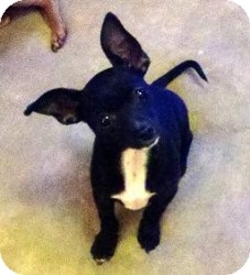 Chihuahua Mix Puppy for adoption in Mesa, Arizona - Teddy