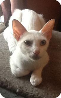 Domestic Shorthair Cat for adoption in Cleveland, Ohio - Snow White