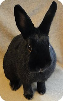 Dwarf Mix for adoption in Los Angeles, California - Raven