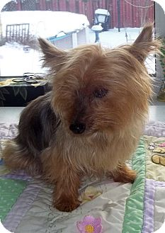 Yorkie, Yorkshire Terrier Dog for adoption in Mississauga, Ontario - Gidget