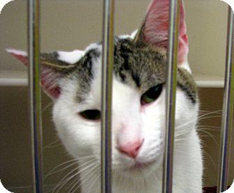 Domestic Shorthair Cat for adoption in Ludington, Michigan - Franklin