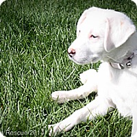 Adopt A Pet :: Violet - Broomfield, CO