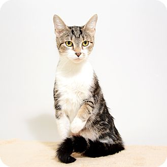 Domestic Shorthair Cat for adoption in Wilmington, Delaware - Maybelline
