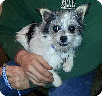 Terrier (Unknown Type, Small) Mix Dog for adoption in Liberty Center, Ohio - Okee