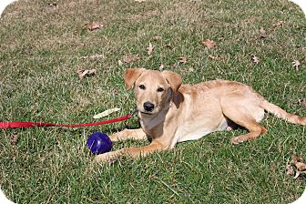 Labrador Retriever Mix Dog for adoption in New Oxford, Pennsylvania - Rkyer