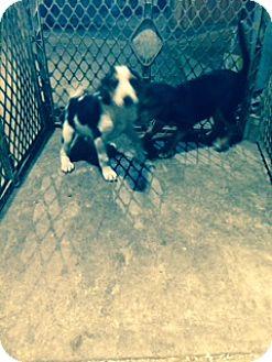 Beagle/Hound (Unknown Type) Mix Puppy for adoption in Stafford, Virginia - Puppy
