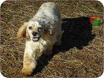 Cocker Spaniel Dog for adoption in Portland, Maine - Zander