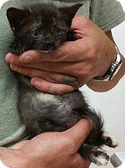 Domestic Shorthair Kitten for adoption in Douglas, Wyoming - Tiny
