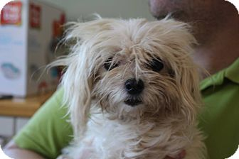 Maltese Mix Dog for adoption in Grants Pass, Oregon - Madeleine