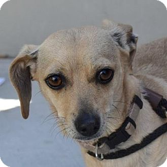 Dachshund/Chihuahua Mix Dog for adoption in Denver, Colorado - Broadway