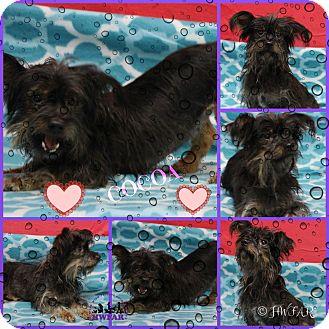 Yorkie, Yorkshire Terrier Mix Dog for adoption in Streetsboro, Ohio - Cocoa