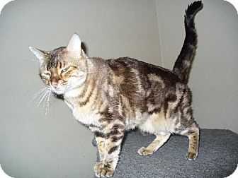 Bengal Cat for adoption in Phoenix, Arizona - Puma
