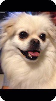 Pomeranian/Pekingese Mix Dog for adoption in Loxahatchee, Florida - Diana