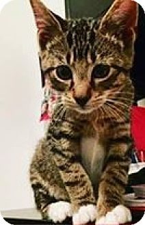 Domestic Shorthair Kitten for adoption in Gainesville, Florida - Marco