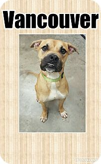 Labrador Retriever/Boxer Mix Dog for adoption in Bryan, Ohio - Vancouver