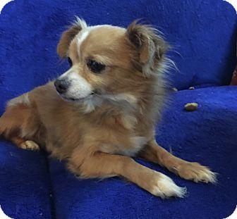 Chihuahua/Pomeranian Mix Dog for adoption in Tumwater, Washington - Milo