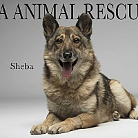 Adopt A Pet :: Sheba - Los Angeles, CA