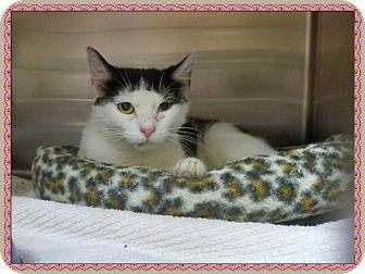Domestic Shorthair Cat for adoption in Marietta, Georgia - CHANTEL (R)