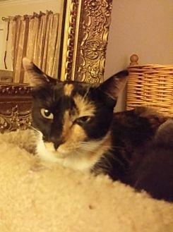 Calico Cat for adoption in Clayton, California - Annie