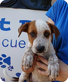 Australian Cattle Dog Mix Puppy for adoption in Oviedo, Florida - Royal