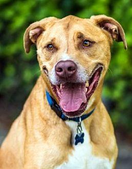 Labrador Retriever Mix Dog for adoption in Port Washington, New York - Max