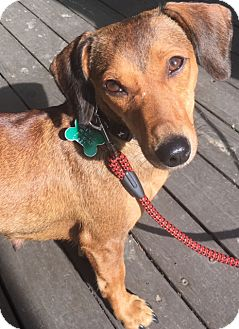 Dachshund Mix Dog for adoption in Memphis, Tennessee - Petra