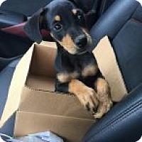 Adopt A Pet :: Chica Linda - Rexford, NY