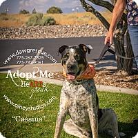 Rottweiler/Australian Cattle Dog Mix Dog for adoption in Gardnerville, Nevada - Cassius