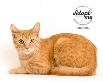 Domestic Shorthair/Domestic Shorthair Mix Cat for adoption in Winchester, Virginia - Chandra