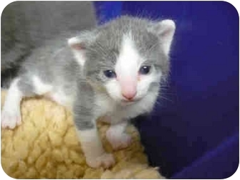 Domestic Shorthair Kitten for adoption in San Clemente, California - LARRY