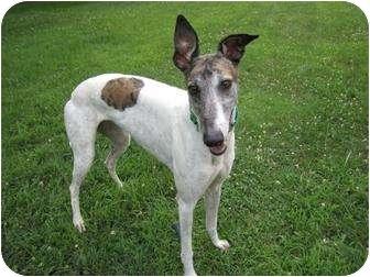 Greyhound Dog for adoption in Chagrin Falls, Ohio - Punky (CG Punky)